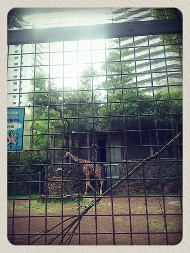 上野動物園きりん!