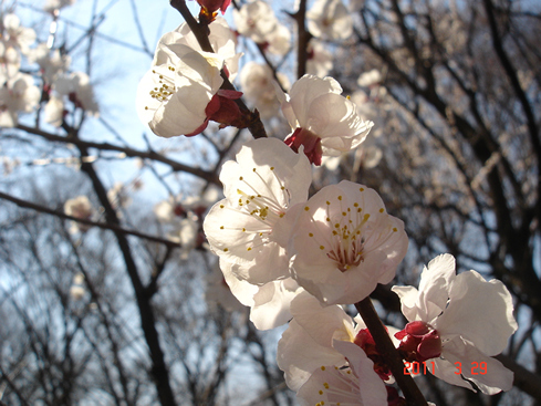 上板橋体育館 桜 緑道