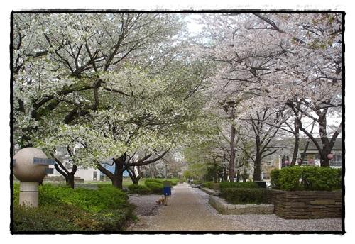 城北 公園 桜