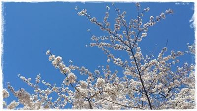 晴天で桜がキレイ!