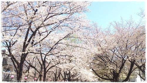 緑道の桜も満開!