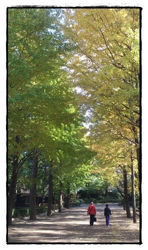 城北中央公園の銀杏並木!