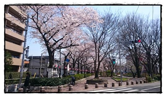 緑道の桜!