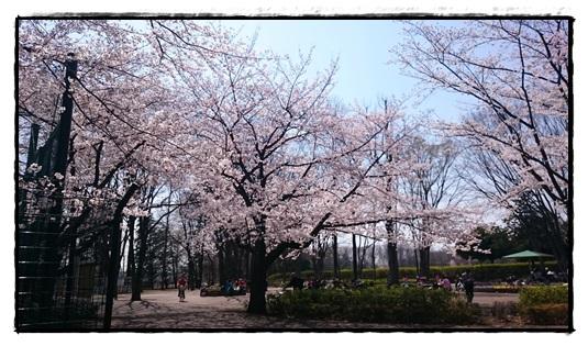 城北中央公園、上の桜!