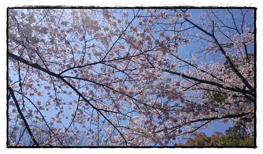 桜と青空!