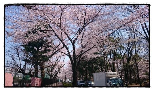 桜川中学校前の桜並木!