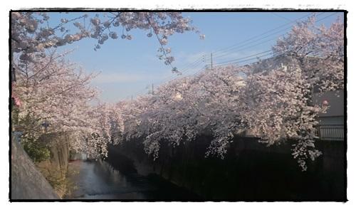 石神井川の桜!
