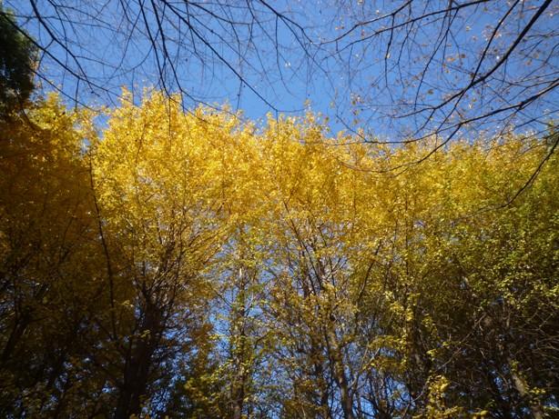 城北公園 銀杏 紅葉