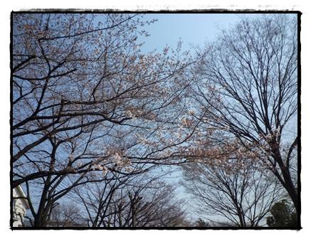 緑道の桜もキレイ