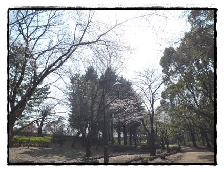 城北中央公園 桜